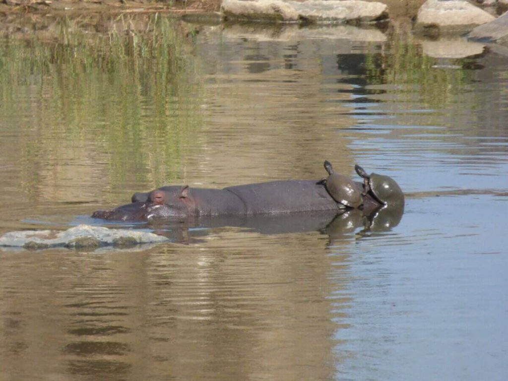 Nijlpaard in iSimangaliso