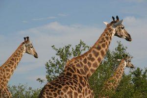 Giraffen in het Krugerpark
