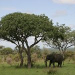 Olifant in het Krugerpark