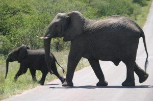 Olifant met jong steekt de weg over