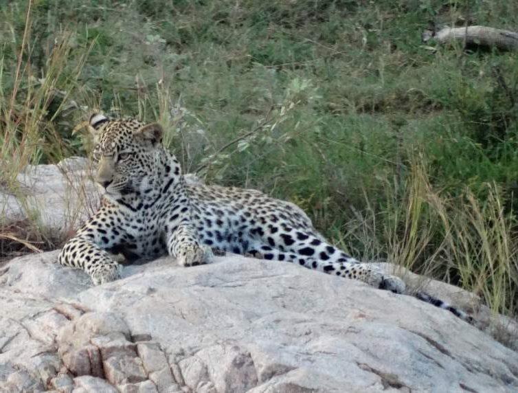 Luipaard in het Krugerpark