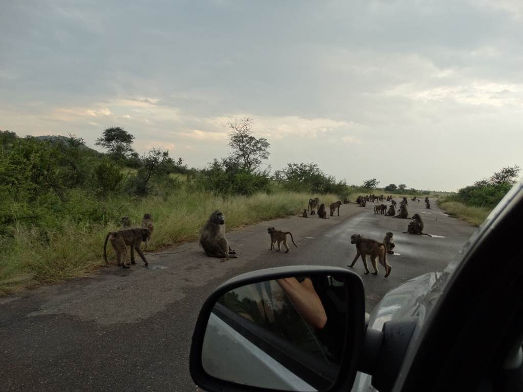 Bavianen op de weg in het Krugerpark