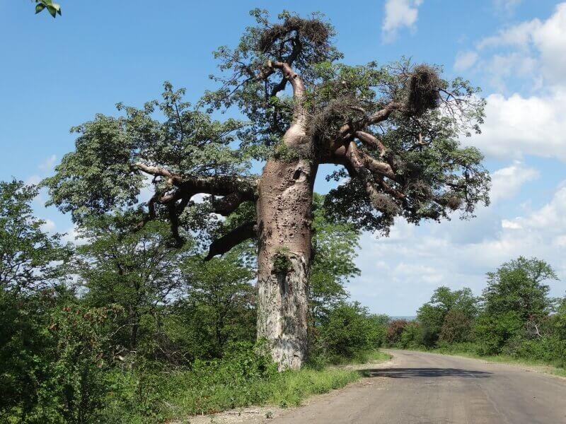 Baobab in Limpopo