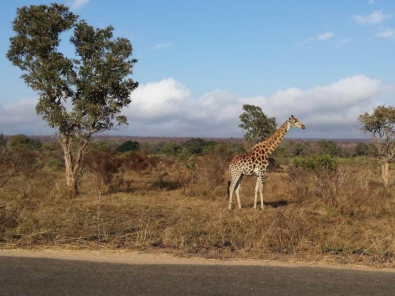 Giraf in Krugerpark